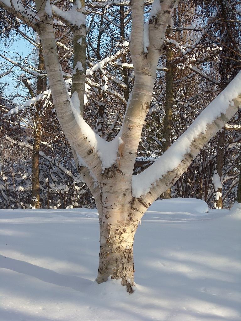 Heimische Laubbäume - eindrucksvolle Riesen