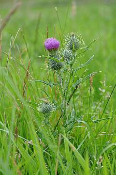 Distel in der Wiese