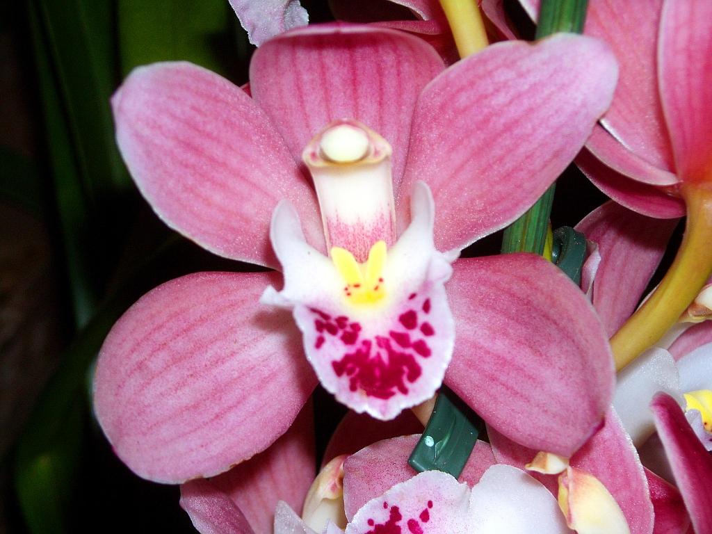Makroaufnahme einer orchideen blüte
