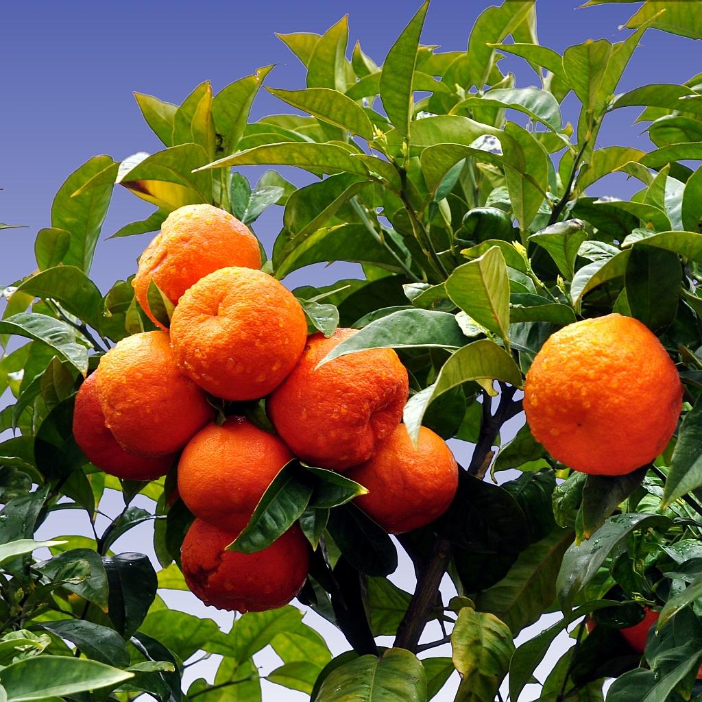cox orange baum