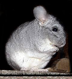 Portrait eines Chinchilla