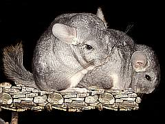 Chinchilla Pärchen