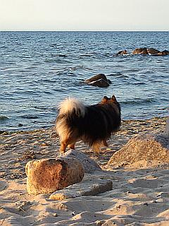 Collie am Strand