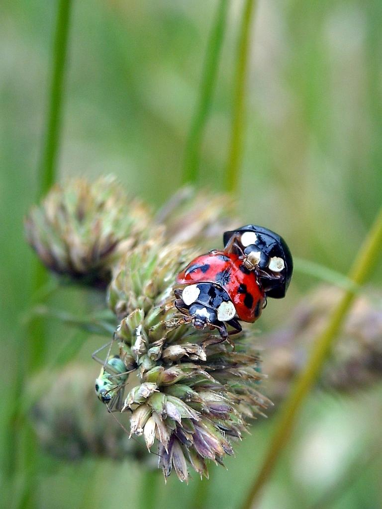 Insekten großaufnahme: marienkäfer pärchen mit heuschrecke im gras