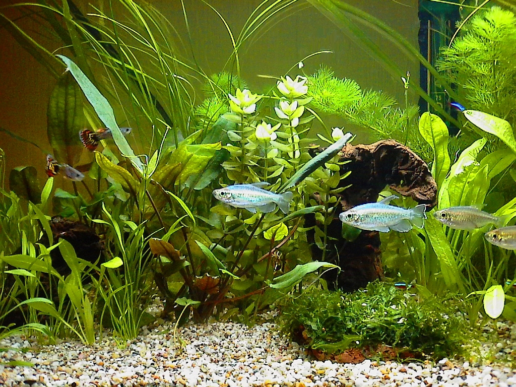 Pin aquarium fische on pinterest for Aquarium fische arten